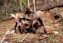 Lobos-guará nascem em cativeiro no Centro de Biodiversidade da Usipa